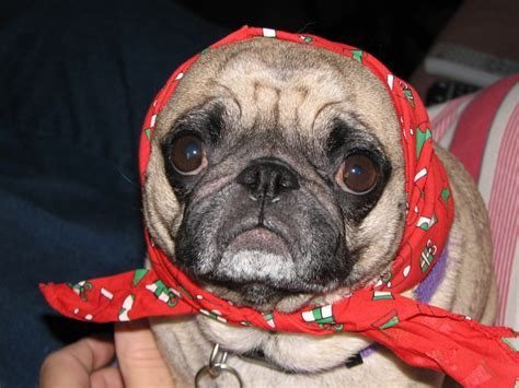 About Pug - Page 3 of 78 - Cute pugs, funny pugs, pug